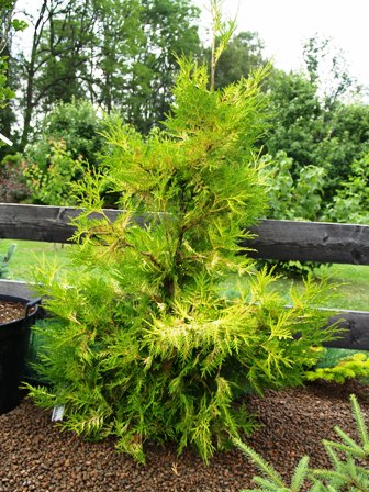 Thuja occidentalis 'Holmstrup's Yellow'