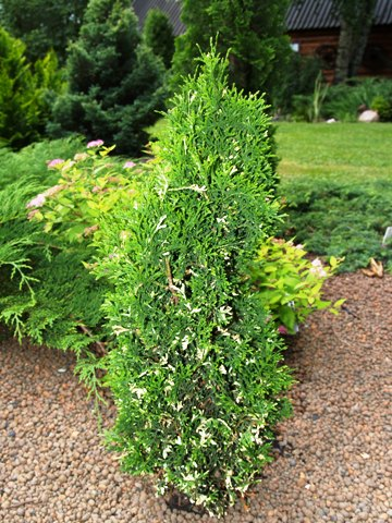 Thuja occidentalis 'Konfetti'