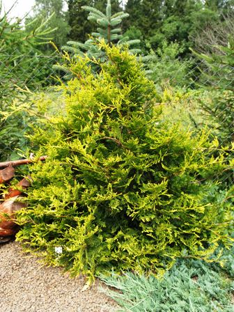 Thuja occidentalis 'Kornik I'