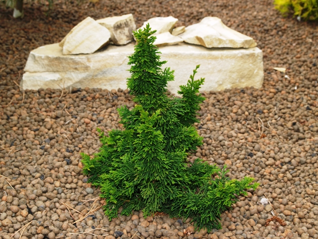 Thuja occidentalis 'Malonyana Holub'