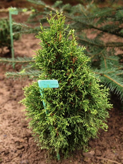 Thuja occidentalis 'Mini Smaragd'