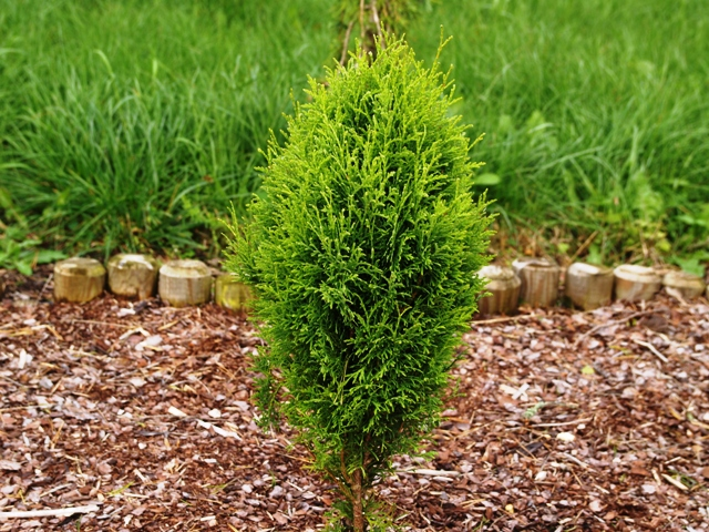 Thuja occidentalis 'Santa Anna'