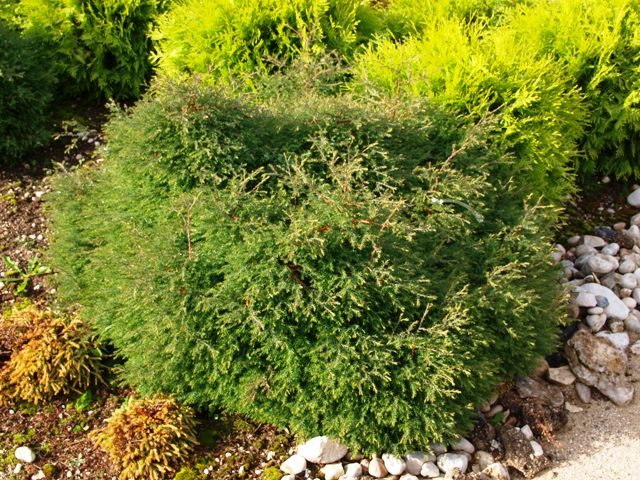 Thuja occidentalis 'Sherwood Moss'