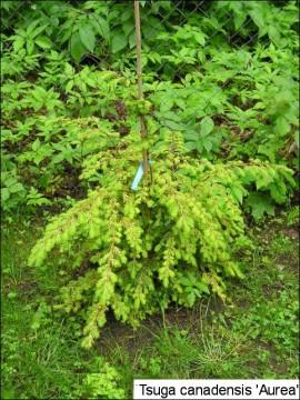 Tsuga canadensis 'Aurea'