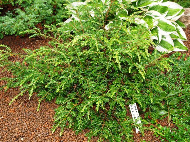 Tsuga canadensis 'HB2 Horstman'
