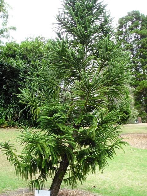 Araucaria montana Araucaria_montana