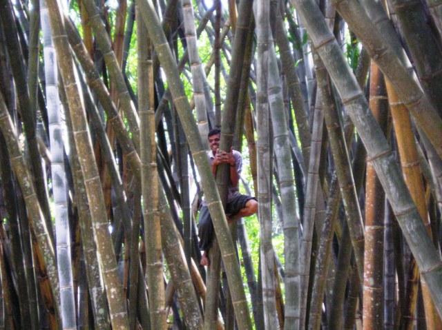 20 semi dendrocalamus giganteus bamboo gigante seeds for Semi bambu gigante